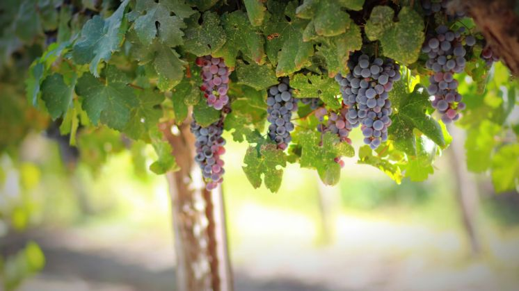 International Congress on Grapevine and Wine Sciences